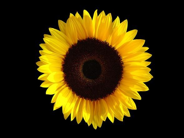 sunflower  u00ab timo elliott