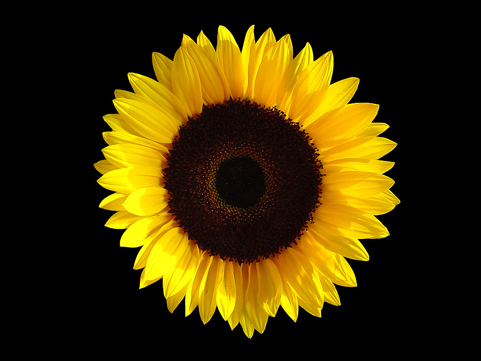 sunflower blog
